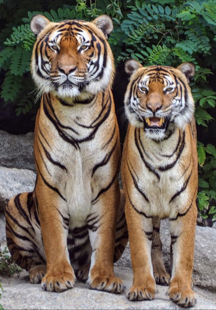 Zwei Tiger nebeneinander